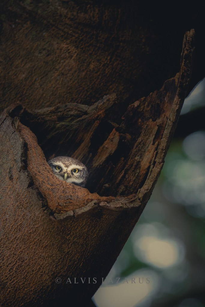 spotted owlet in habitat wildlife photography bangalore