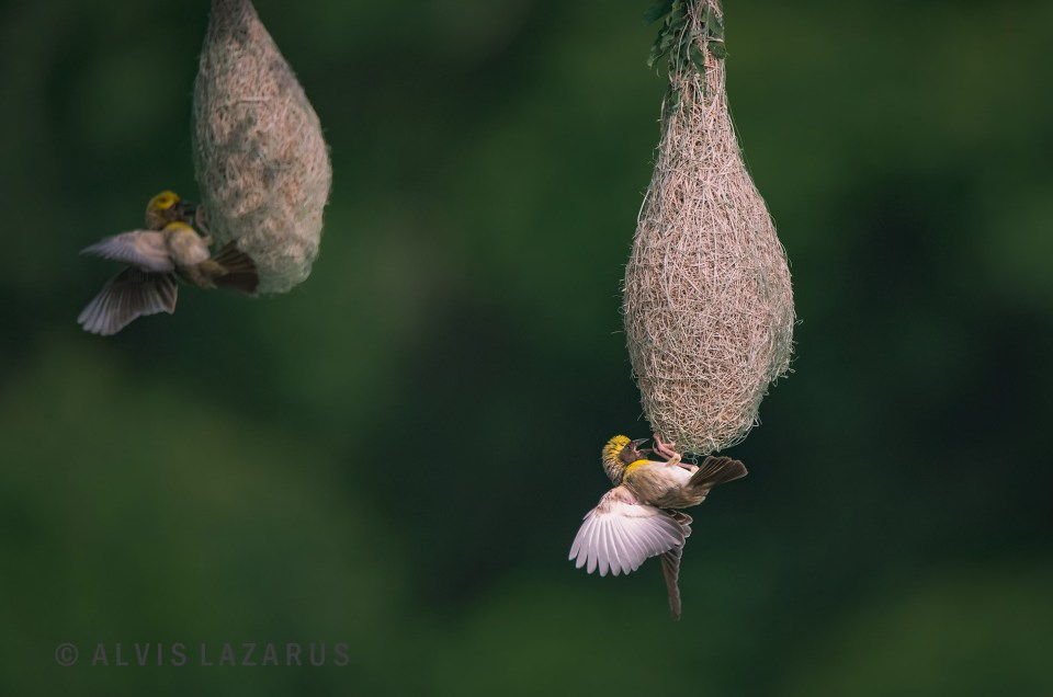 Baya Weaver Nesting Behaviour - Calling Mate