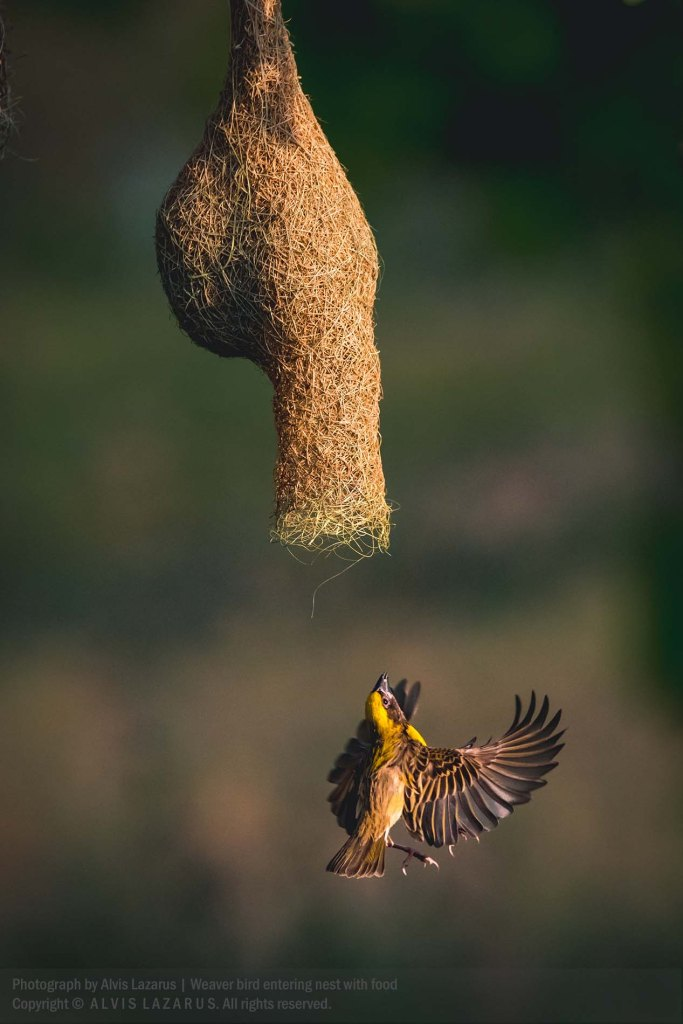 Baya Weaver Nesting Behaviour - Baya Weaver Male getting Food