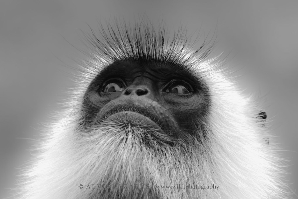 hanuman-langur wildlife-photographer photography wild wildlife