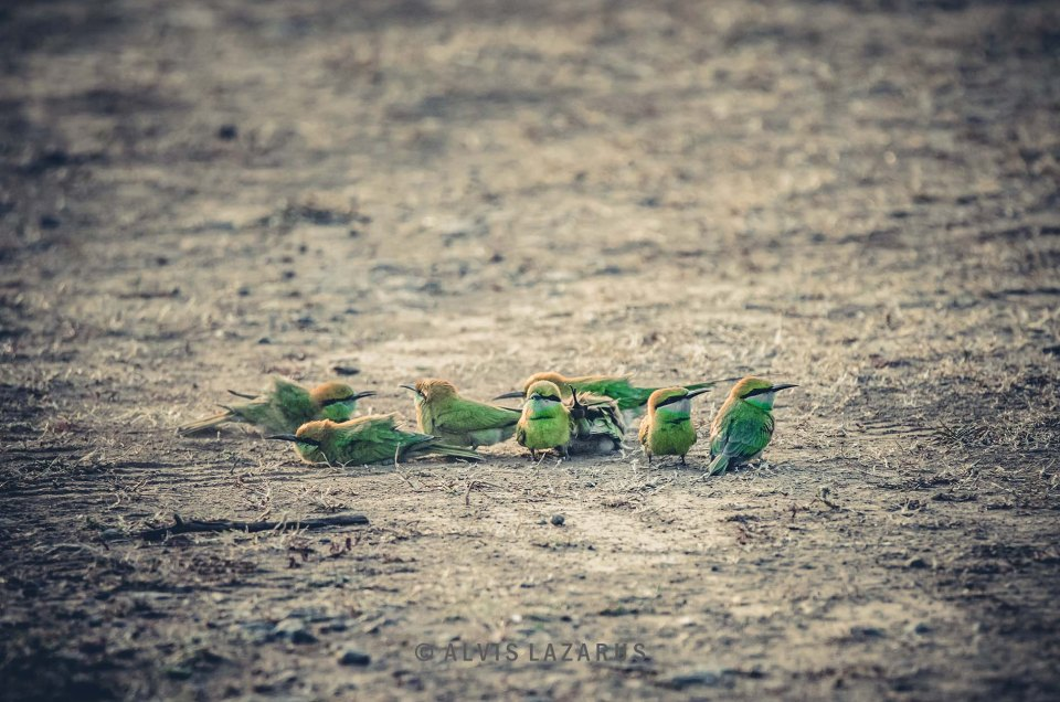 Bee Eaters playing in mud and sand dust bathing sand bathing