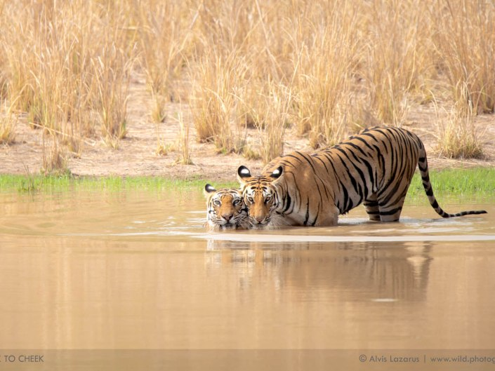 widlife photography tiger cub wild photography