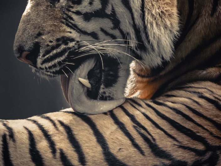 tiger, wildlife, wild, photography, wildlife photographer, grooming, wildlife photographer, learn wildlife photography, become a wildlife photographer
