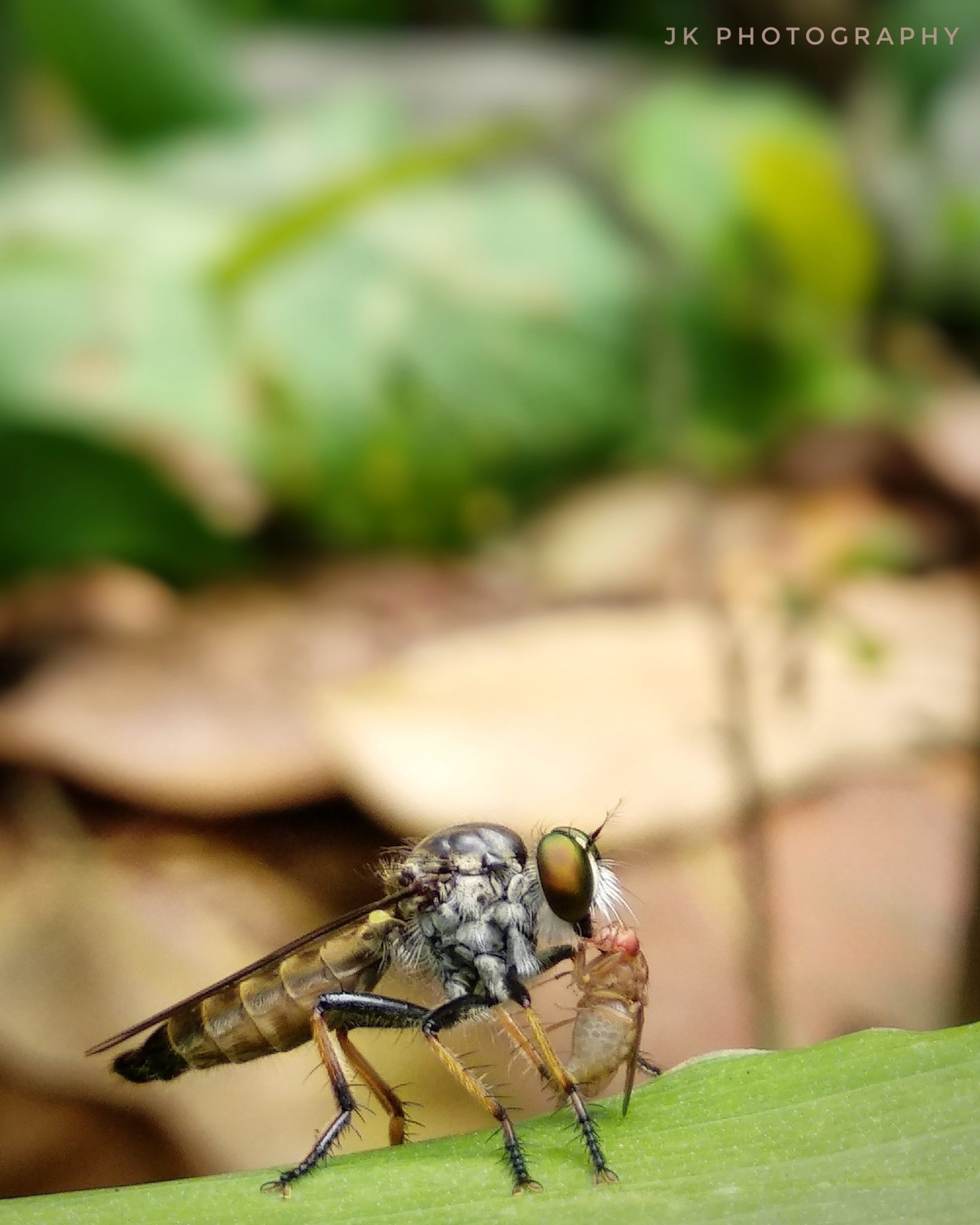 Robber Fly (Asilidae)