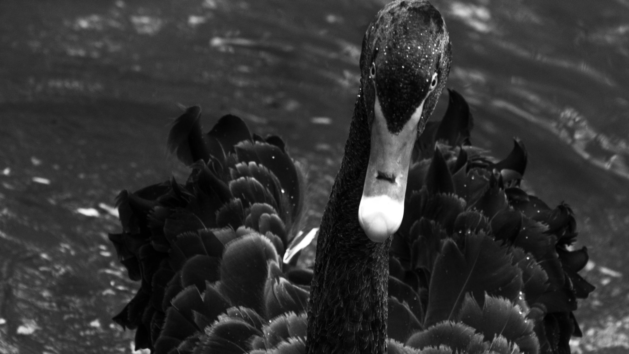 shot with NikonD3300, 1/320s, f/8. This shot of black swan is an image I will never forget, what a beauty he was. I waited till he approached me with his menacing looks. I wanted to clearly capture. I had heard a lot about how swans get angry and this shot literally gave me that. The monochrome effect is to convey that emotion.