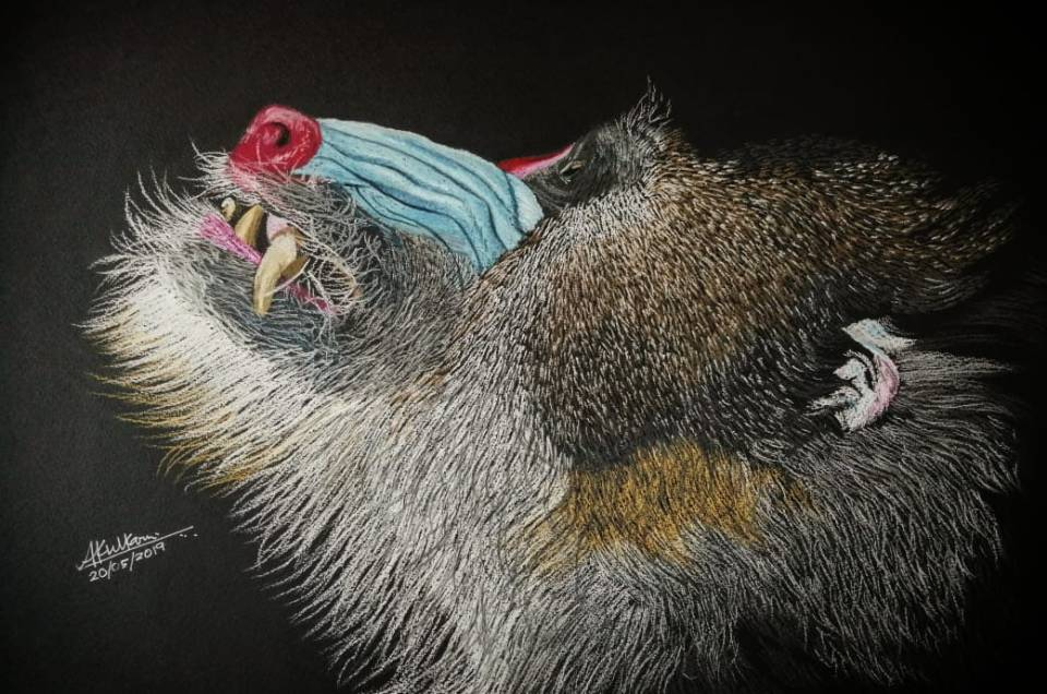 Mandrill Monkey Portrait by Wildlife Artist Ameya Rashmin