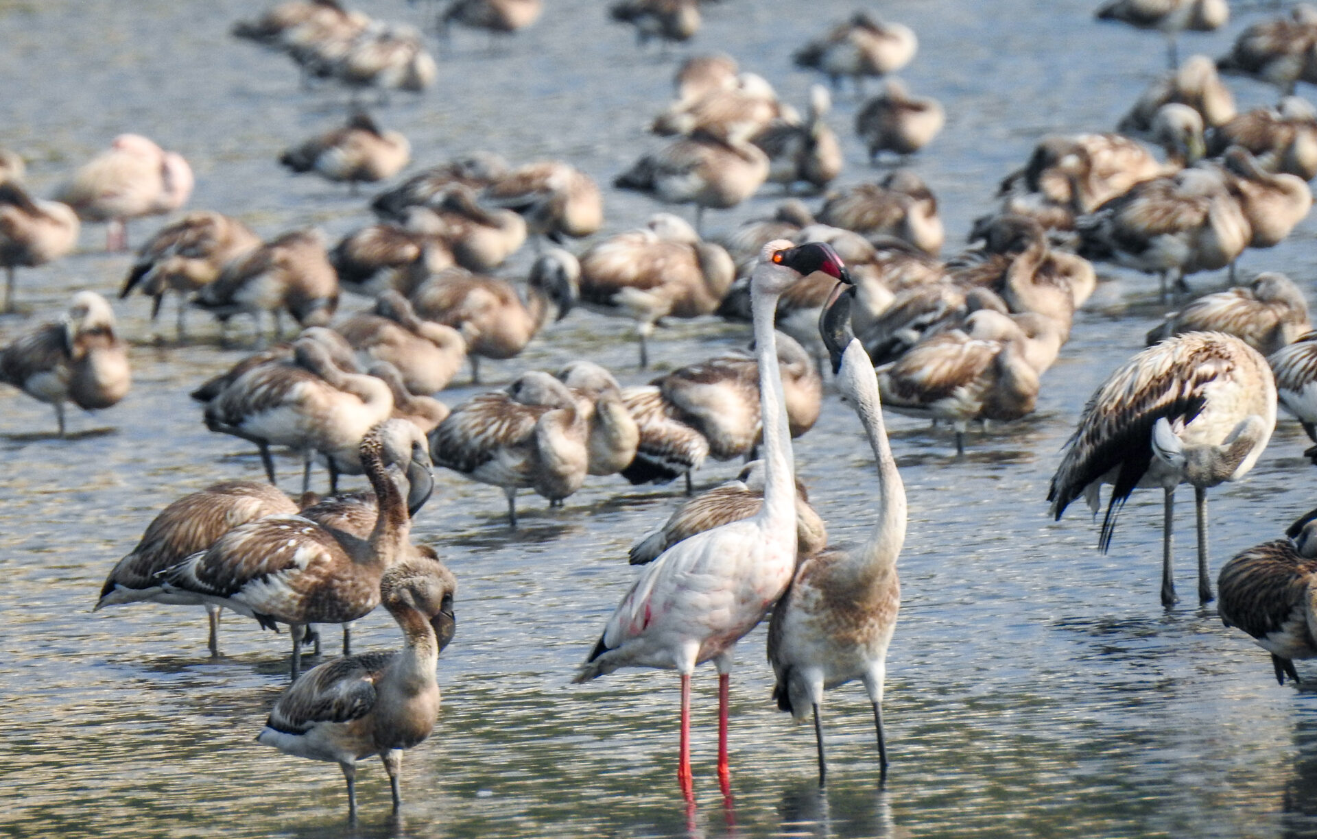 Lesser Flamingo feeding