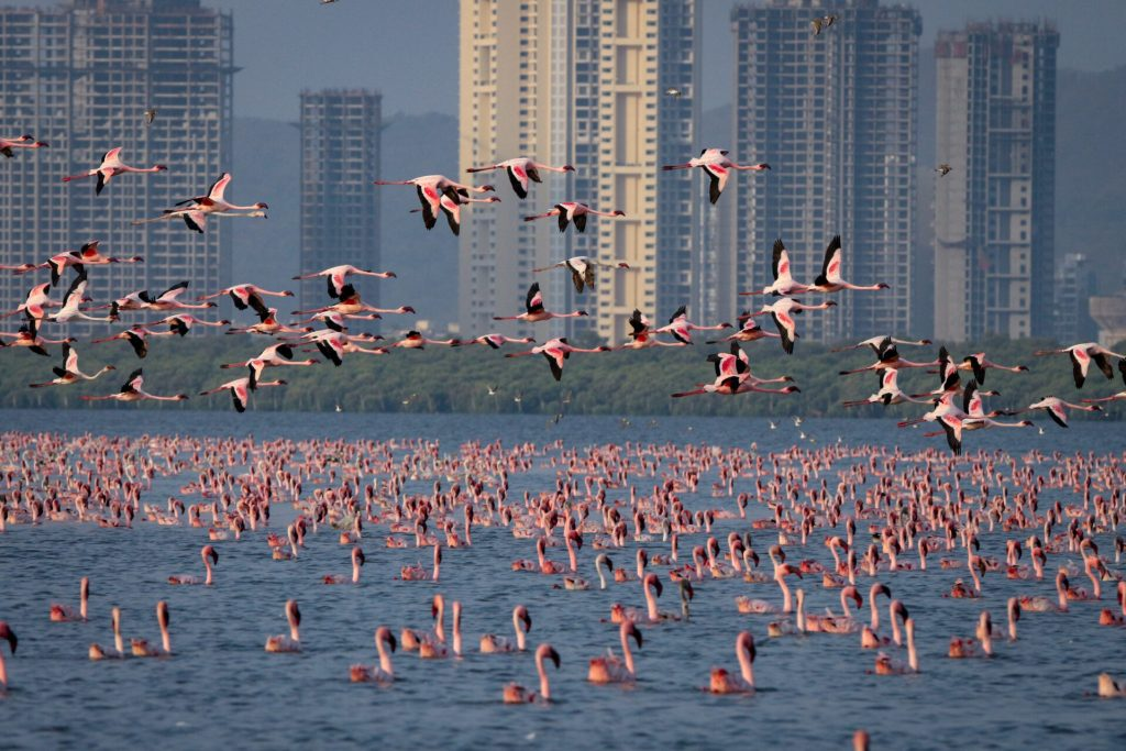 Flamingos flying past and swimming in the Thane Creek Flamingo Sanctuary