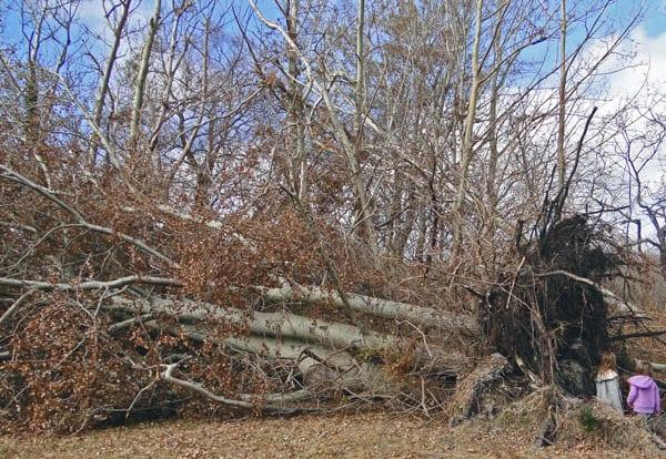 fallen trees Hurricane Sandy