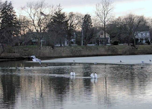 swans birds ponds