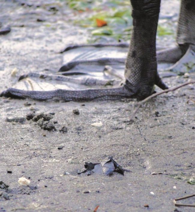 swans webbed feet