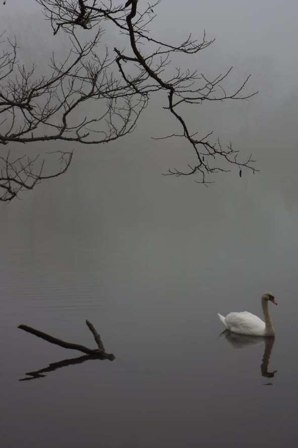 swan mist silent sunday