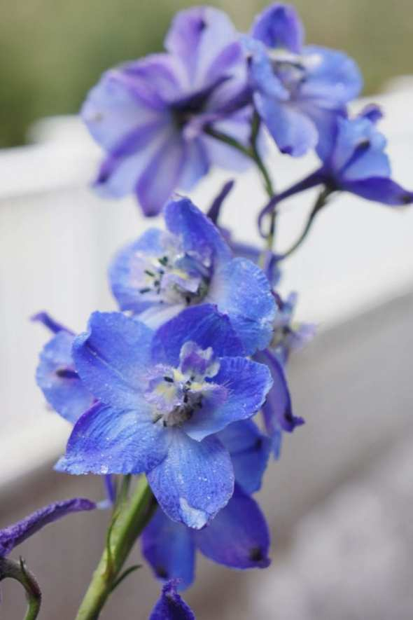 blue flowers nature