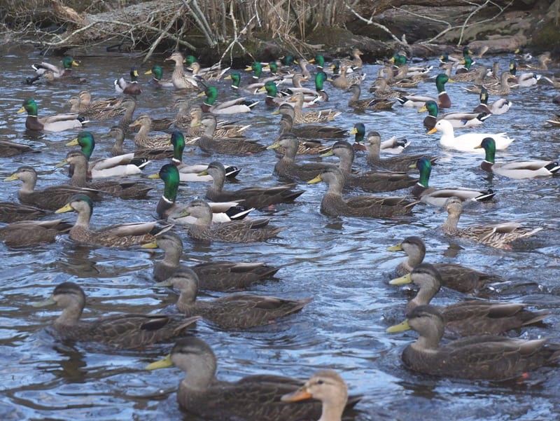 raft ducks east hampton nature trail