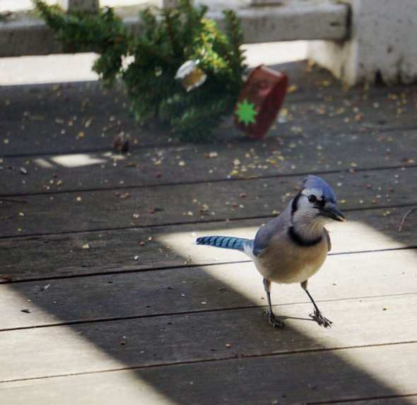Blue Jay on deck