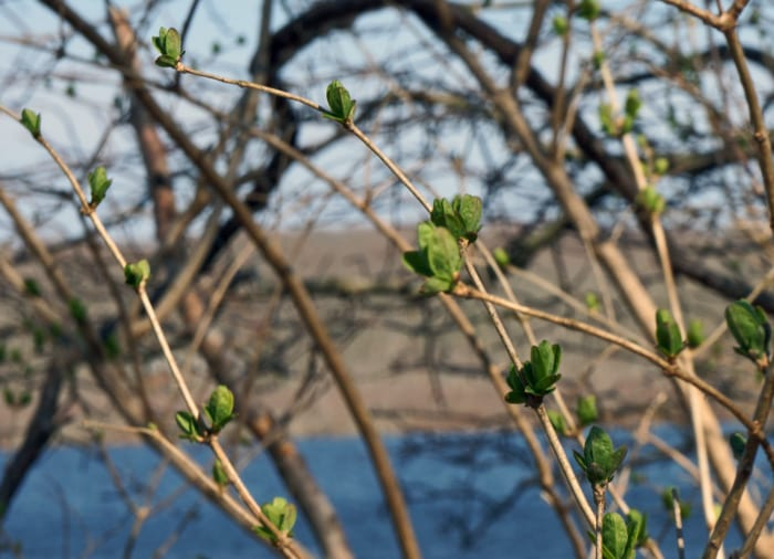 spring buds long pond