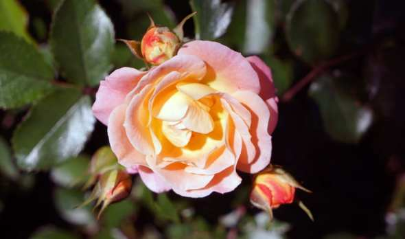 orange and pink rose blooming marvellous