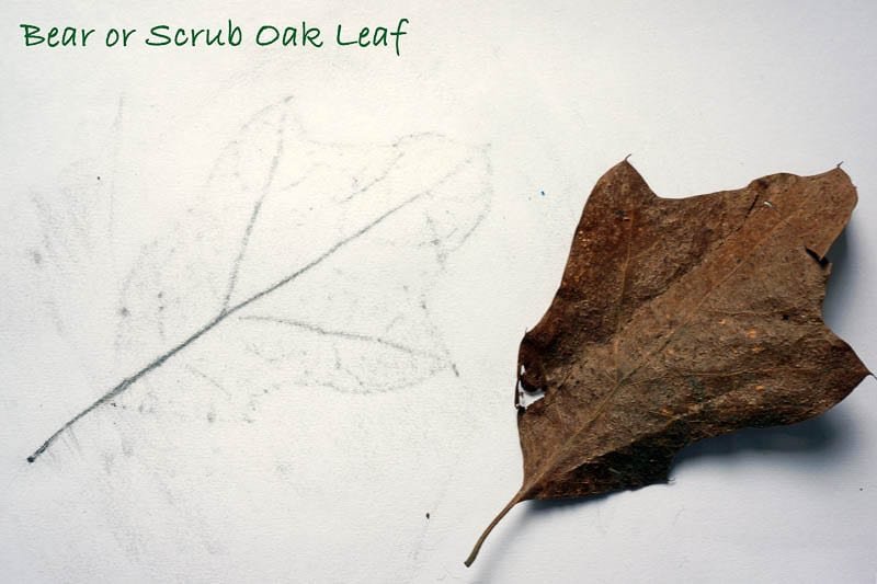 Nature Detectives Bear or Scrub Oak leaf id