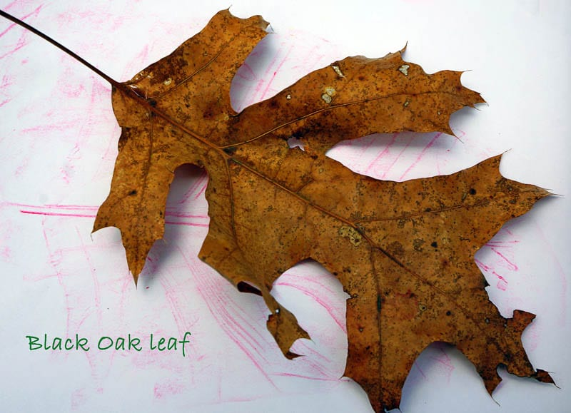 Nature Detectives black oak leaf and rubbing