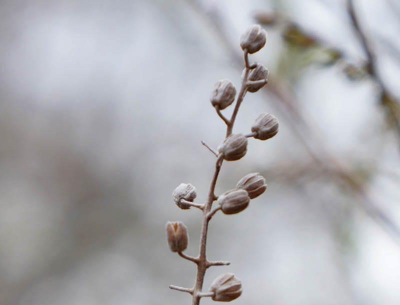 Nature Detectives sweet pepperbush