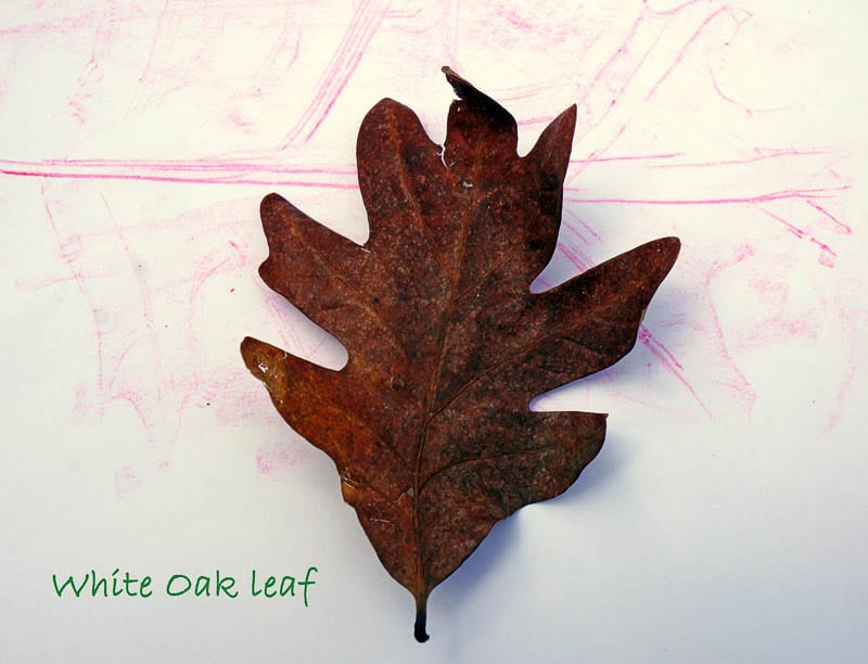 Nature Detectives white oak leaf and rubbing