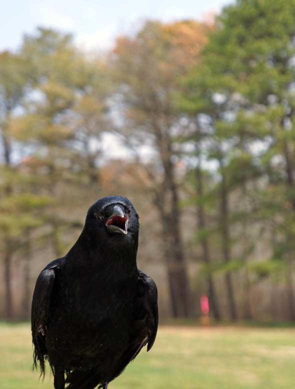 Rescued American crow