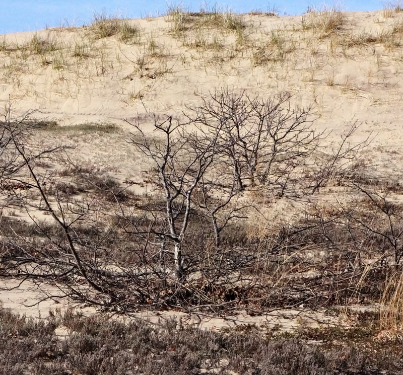 Treetops sticking out of The Walking Dunes