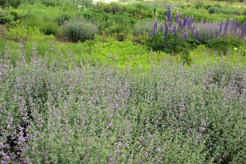 Shrubs of lavender