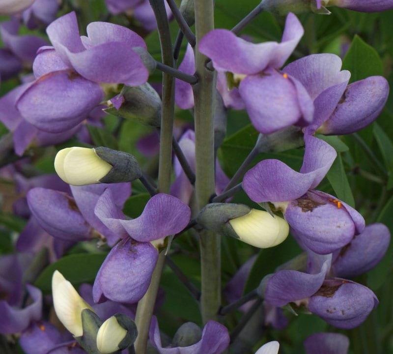 Close up Lupine flowers