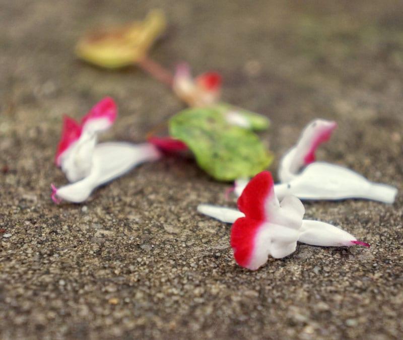 Fallen Ornamental Sage flowers