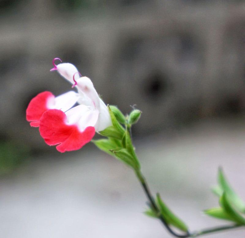 Ornamental Sage flowers
