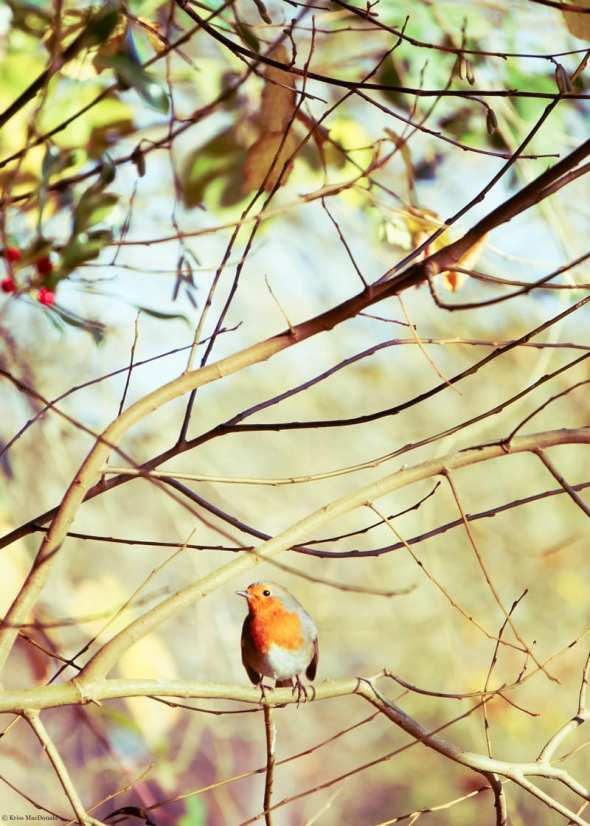 English robin and holly tree