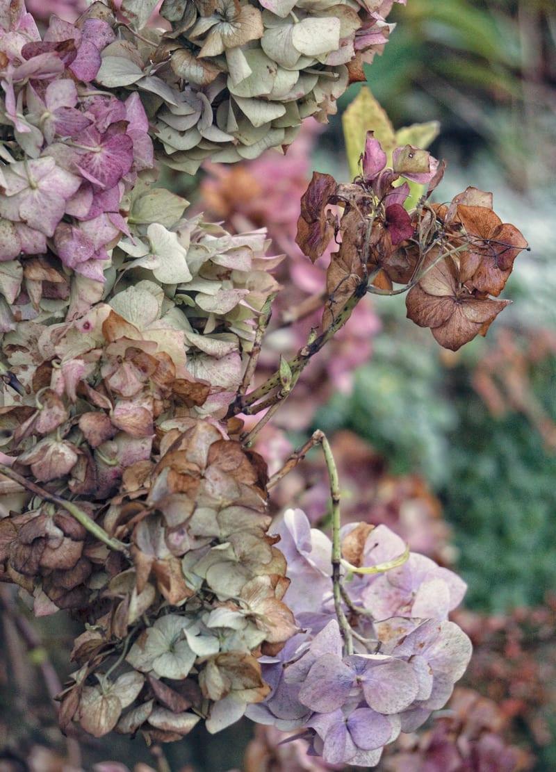 fading hydrangea flowers