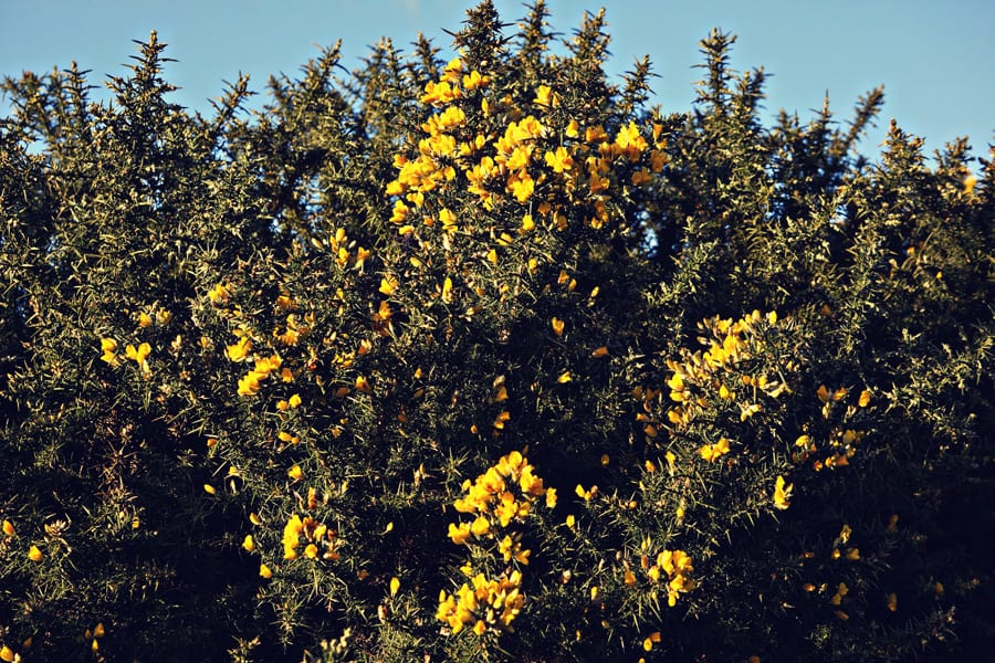 common gorse shrub