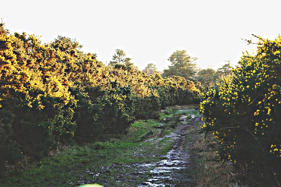 path with gorse bushes