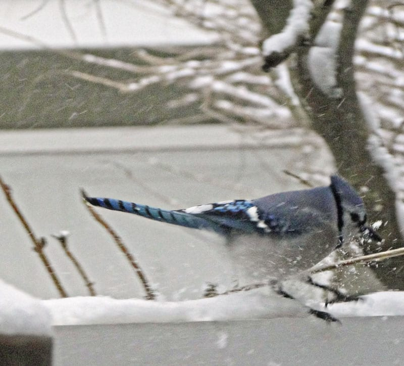 blue jay playing in snow