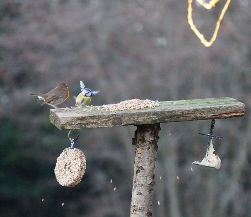 robin and blue tit on feeder