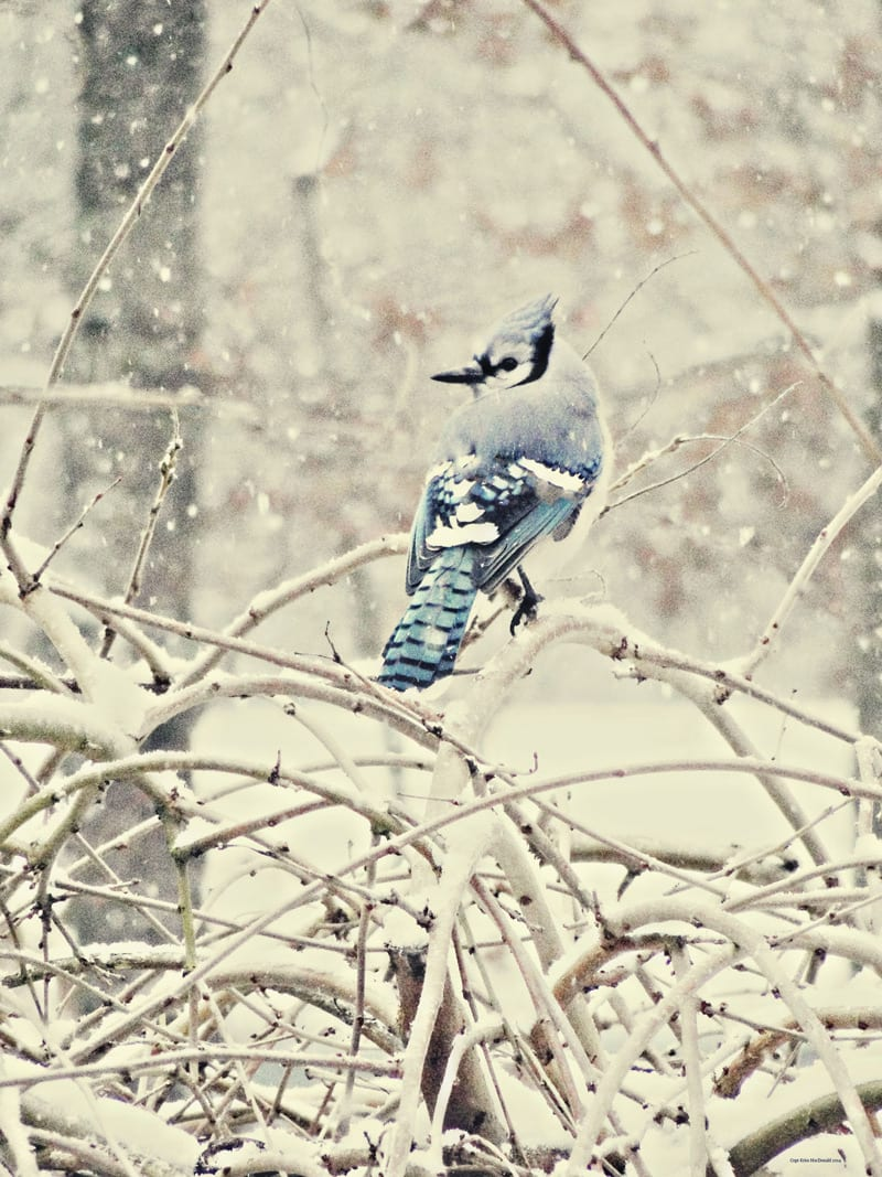 Blue jay in snow covered tree