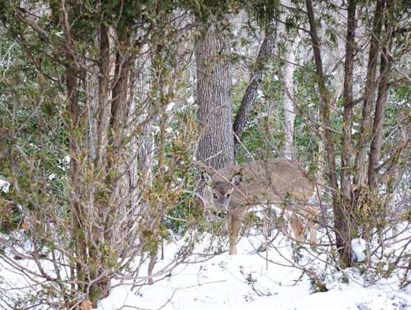 Deer peeking through trees in snow