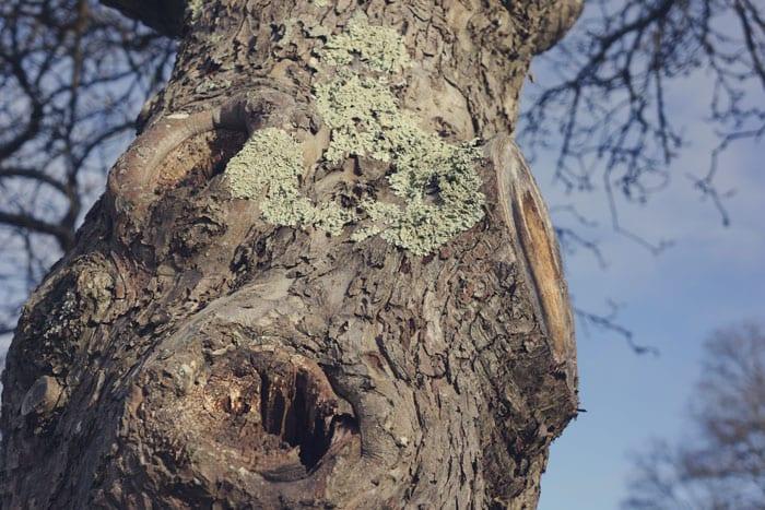 Lichen on oak trunk