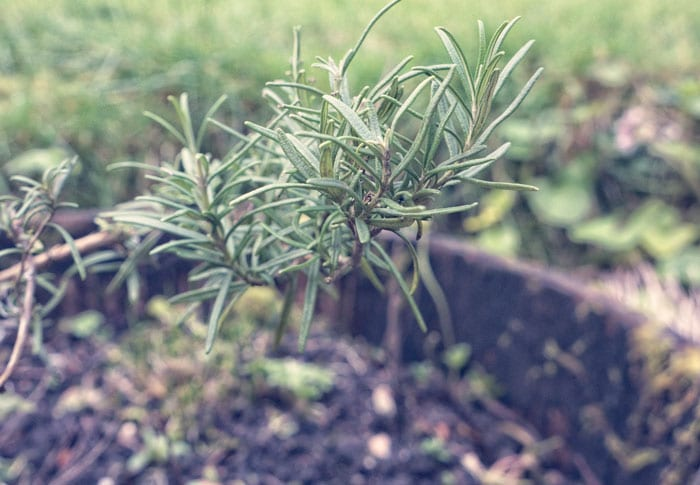 Rosemary means remembrance