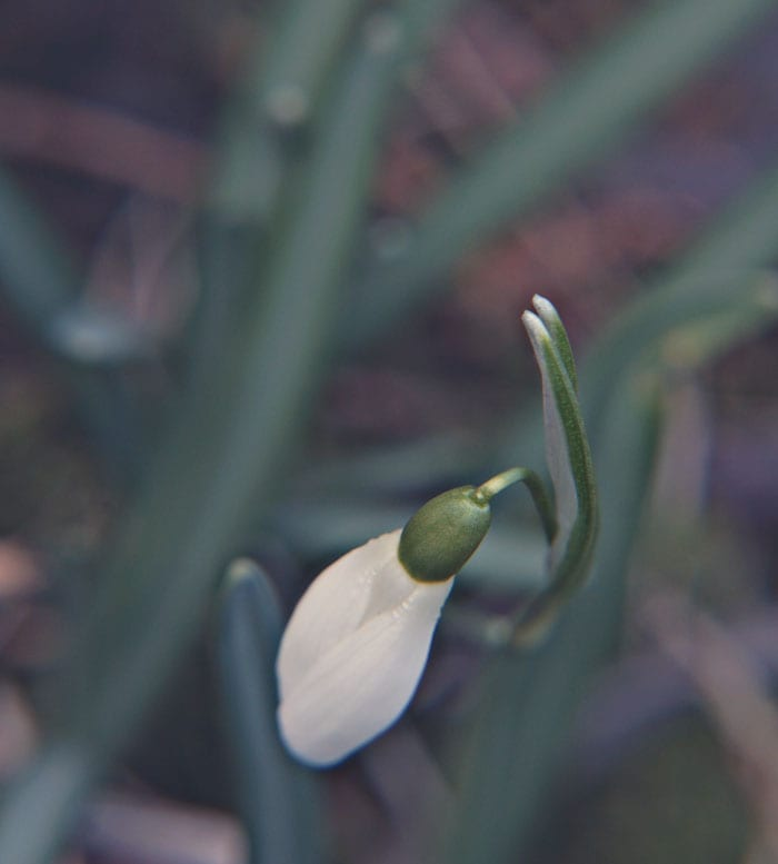 Snowdrop from above