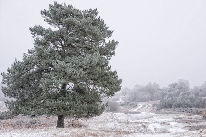 Pine tree and snow in Ashdown Forest