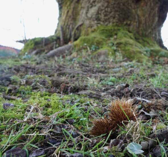 seed pods and nuts sweet chestnut