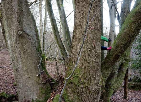 climbing beech tree