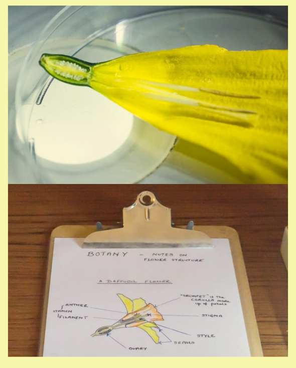 Dissected Daffodil and botany notes