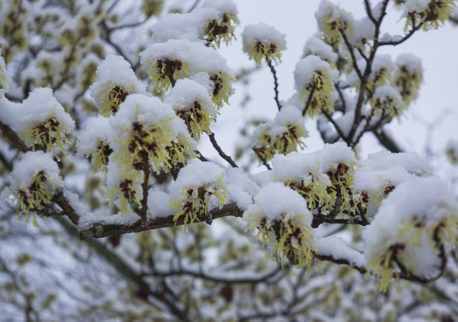 Snow on witch hazel