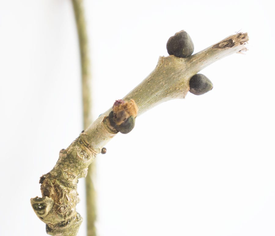 6th March Bud Ash tree opening