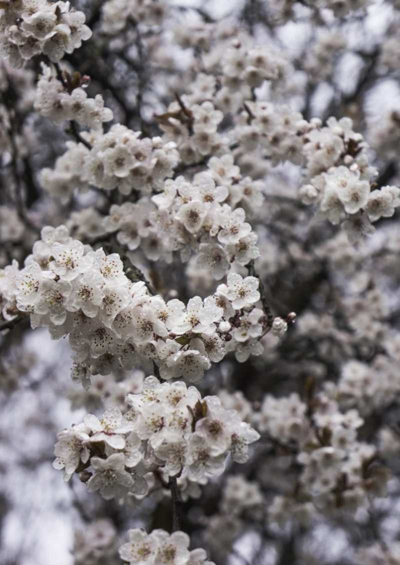 Blossoms on tree in Spring