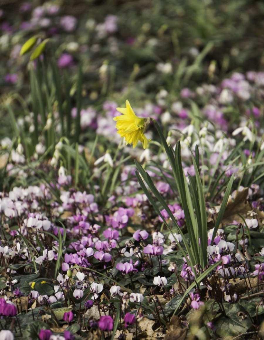 Cyclamen and Daffodil
